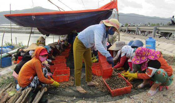 Tản mạn nghề lượm ốc hương Phú Yên
