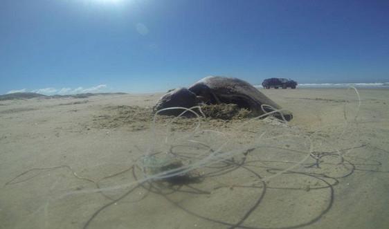 Tổ chức môi trường Mexico kêu gọi bảo vệ rùa biển