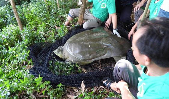 Niềm hy vọng mới trong bảo tồn gen rùa Hoàn Kiếm