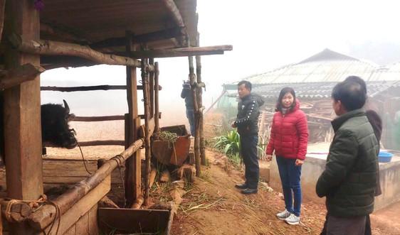 Điện Biên: Nhiệt độ giảm sâu trâu, bò một số huyện vùng cao chết rét