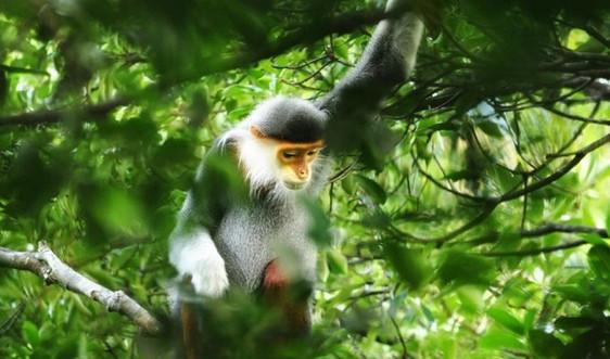 Phát hiện 3 đàn voọc chà vá chân nâu tại Khu Bảo tồn thiên nhiên Bà Nà - Núi Chúa