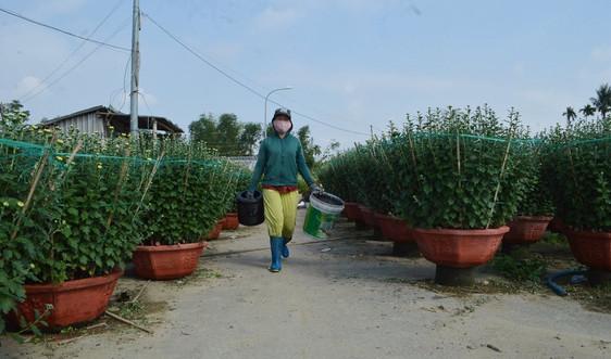 Quảng Ngãi: Đìu hiu vụ hoa Tết, nhiều nhà vườn lo thất thu