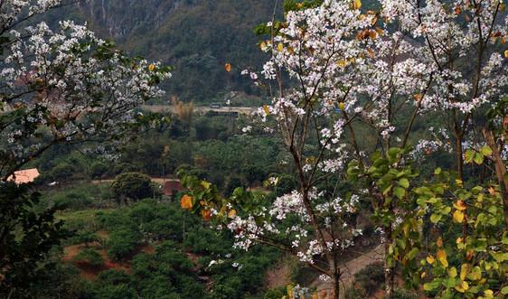 Hoa ban nở trắng phố rừng Tây Bắc