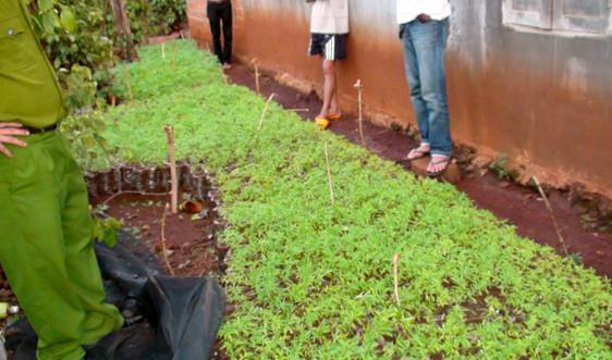 Người đàn ông trồng hàng trăm cây cần sa để chăn nuôi gia súc