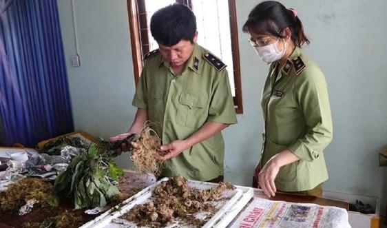 Kon Tum bắt giữ 3 thùng sâm Ngọc Linh giả