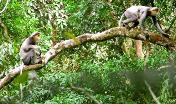 Quảng Nam: Đến năm 2030 sẽ nâng tổng diện tích môi trường sống Chà vá chân xám lên 150 ha