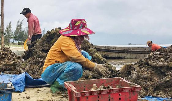Ngư dân đầm Lập An trúng mùa hàu