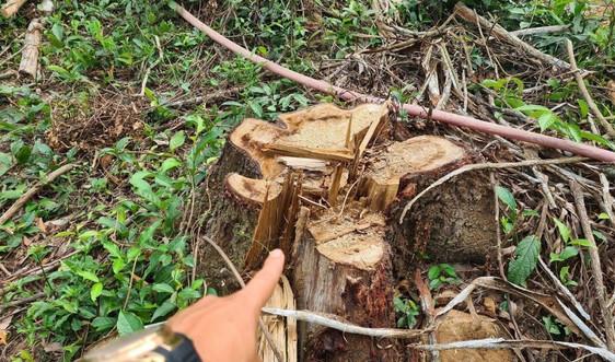 """Quảng Nam: Dân bức xúc vì cây rừng phòng hộ di sản Mỹ Sơn bị chặt """"nhầm"""" đem bán"""