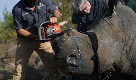 Nam Phi cưa bỏ sừng tê giác để ngăn chặn nạn săn trộm