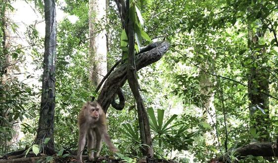 Hà Tĩnh: Thả bảy cá thể khỉ đuôi lợn về Vườn quốc gia Vũ Quang