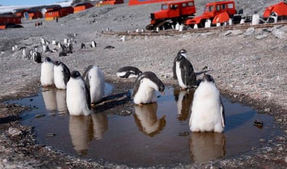 Chim cánh cụt có nguy cơ mất môi trường sống cao nhất do biến đổi khí hậu