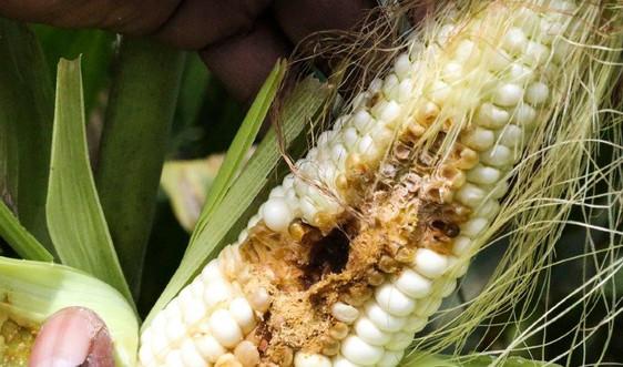 Côn trùng xâm lấn lây lan trên diện rộng do biến đổi khí hậu
