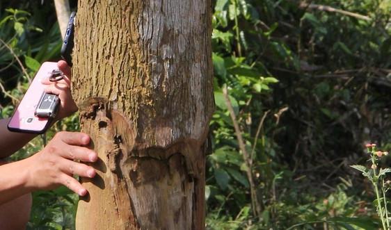 """Quế Phong (Nghệ An): """"Ken cây"""" - Hình thức phá rừng tinh vi"""