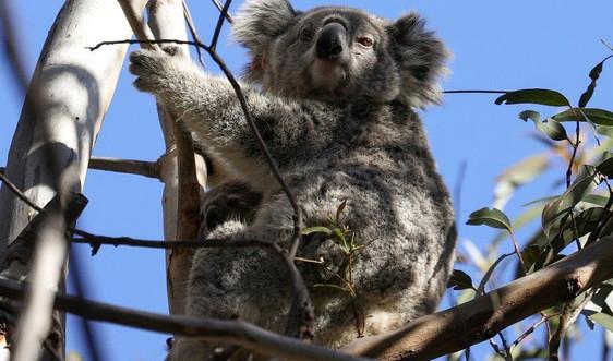 Gấu Koala có nguy cơ tuyệt chủng ở Australia