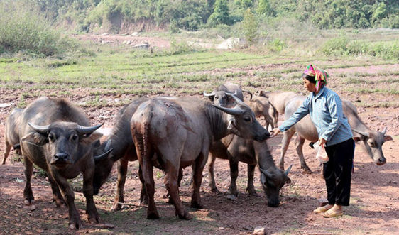 Ngành chăn nuôi Điện Biên ứng phó với biến đổi khí hậu