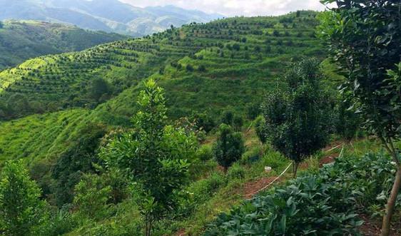 Điện Biên: Tháo gỡ khó khăn các dự án phát triển cây mắc ca
