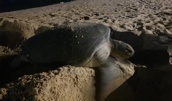 Bình Định: Một cá thể rùa biển đẻ trứng lần 2 tại bãi biển Nhơn Hải