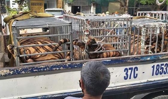 """Nghệ An: Bắt vụ nuôi hàng chục cá thể hổ trong khu dân cư như """"nuôi lợn"""""""