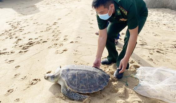 Thả cá thể rùa quý hiếm nặng 25kg về môi trường biển