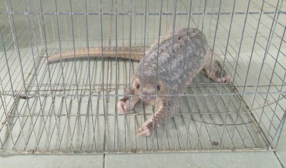 Thừa Thiên- Huế: Thả cá thể tê tê quý hiếm về môi trường tự nhiên