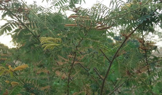 Cây mai dương - mối đe dọa môi trường và đa dạng sinh học ở Điện Biên