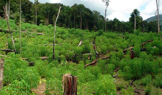 Gia Lai khởi tố vụ hủy hoại 34ha rừng để trồng bạch đàn