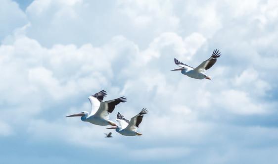Bảo vệ  sinh cảnh sống cho các loài chim di cư