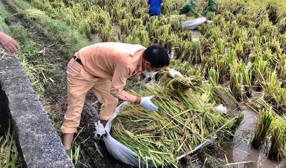 Thái Bình: Thu hoạch 54.375 ha lúa mùa trước ảnh hưởng của bão số 8