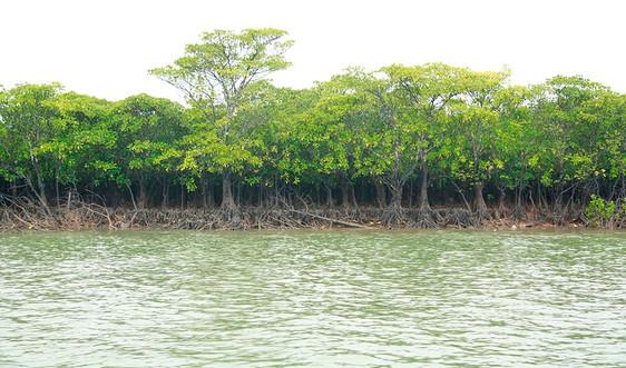 """Bài dự thi """"Cùng giữ màu xanh của biển"""": Hồi sinh rừng ngập mặn Đồng Rui - Bài 1: Những ký ức về rừng"""