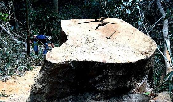 Cưa cây gỗ dổi, 3 cán bộ bảo vệ rừng vướng lao lý