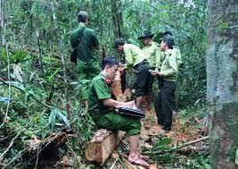Vụ phá rừng pơ mu tại Nam Giang có thêm diễn biến mới
