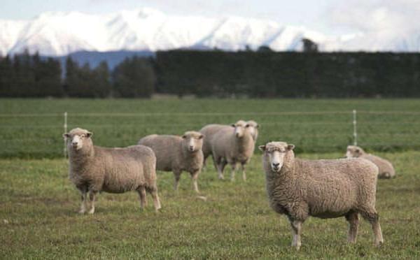 New Zealand bắt đầu áp dụng chỉnh sửa gen để sản xuất cừu phát thải khí metan thấp