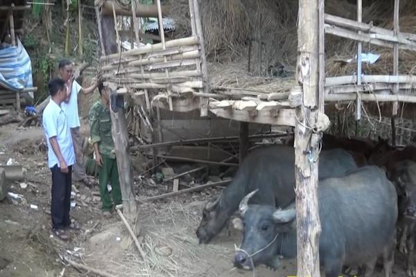 Điện Biên: Người dân tộc thiểu số đưa gia súc ra khỏi gầm sàn