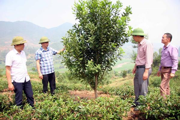 Than Uyên (Lai Châu): Phát triển trồng mắc ca thành vùng nguyên liệu
