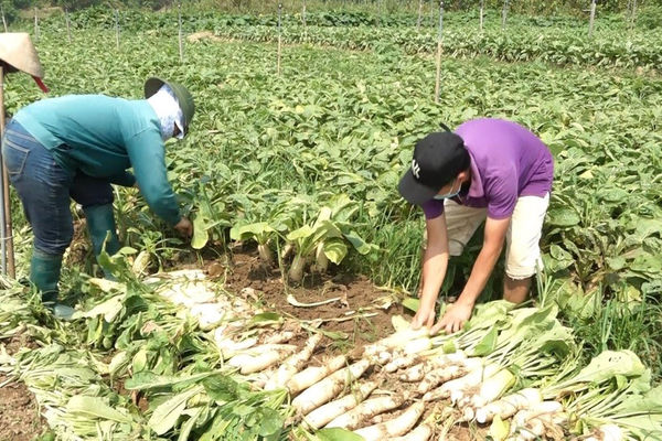 Yên Bái: Trồng củ cải trắng bước đầu mang lại hiệu quả