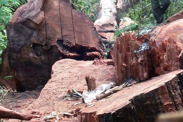 Gia Lai: Bắt tạm giam 4 đối tượng khai thác gỗ trái phép