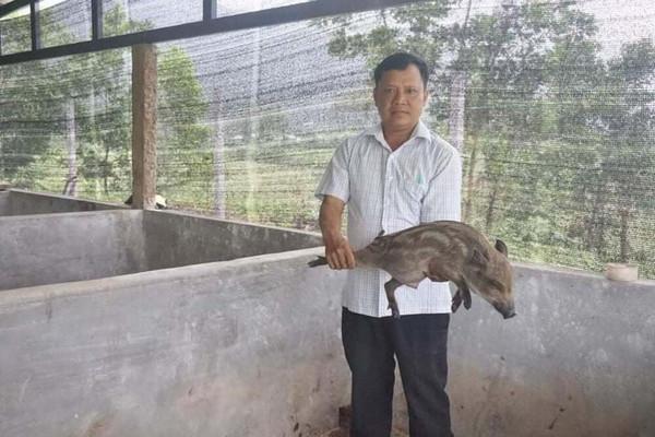 Đà Nẵng: Người dân miền núi Hòa Vang kiếm hàng trăm triệu từ nuôi heo rừng