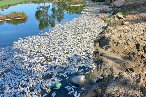 Cá chết trắng trên sông Cổ Cò (Đà Nẵng) do thiếu oxy