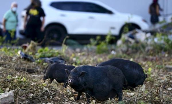 Lợn rừng thải 4,9 triệu tấn CO2, tương đương lượng khí thải của 1,1 triệu ô tô