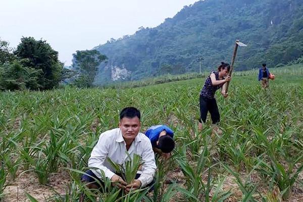 Rễ hương - Cây thoát nghèo trên vùng đất khó