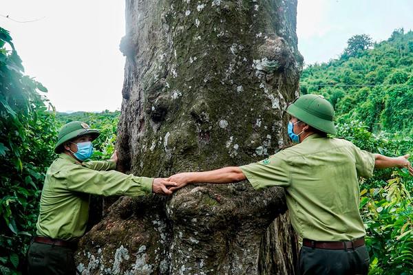 """Cận cảnh cây Lim xanh """"nghìn tuổi"""" tại Thanh Hóa"""