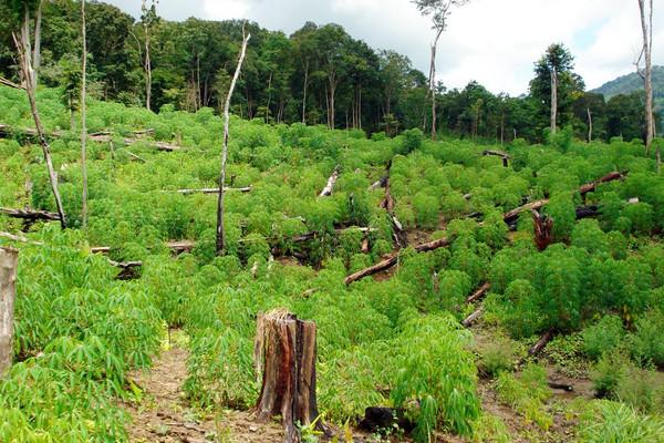 Phá rừng phòng hộ để trồng bạch đàn