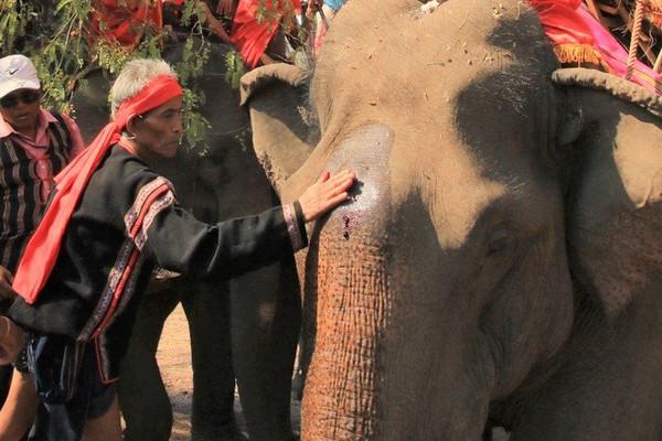 Đặc sắc lễ cầu sức khỏe cho voi
