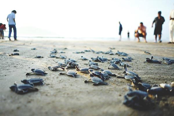 """Bài dự thi""""Cùng giữ màu xanh của biển"""": """"Vượt cạn"""" cùng rùa Côn Đảo"""