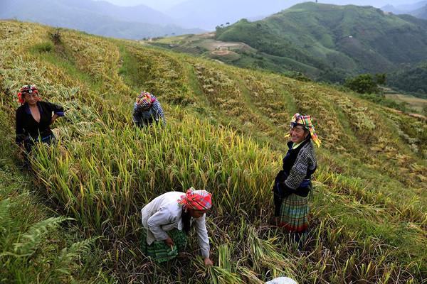 Mùa vàng ở bản người Mông Khe Táu